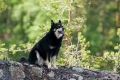 Lapinporokoira / Lapponian herder Inka (12.5.2002-29.4.2016)
